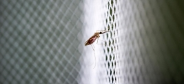 WHO takes a position on genetically modified mosquitoes